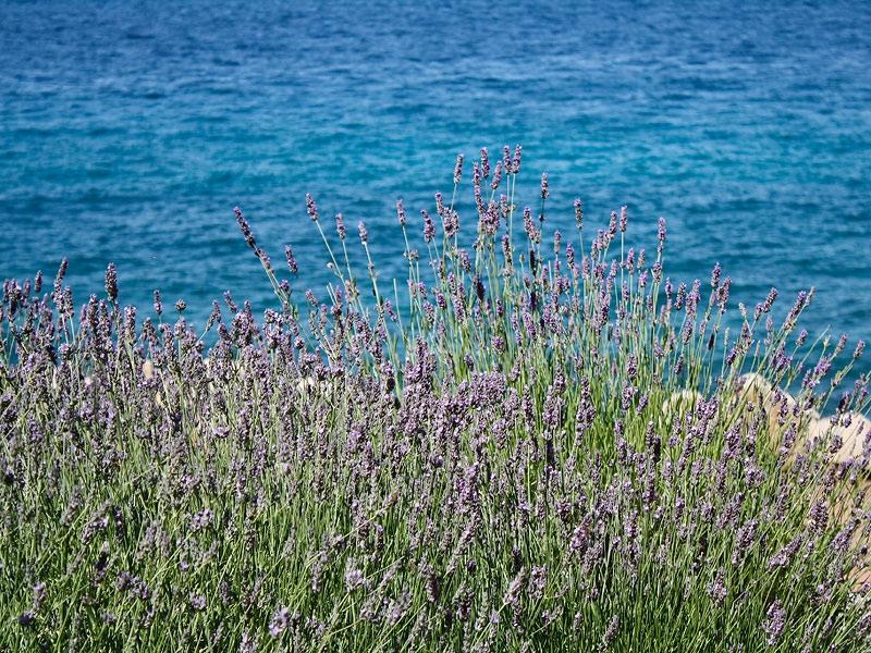 В Хорватии повсюду растет лаванда